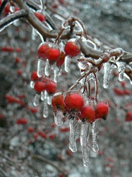 Icy berries2