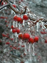 Icy berries2